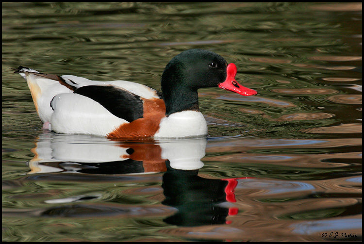 Common Shelduck, Litchfield Park, AZ
