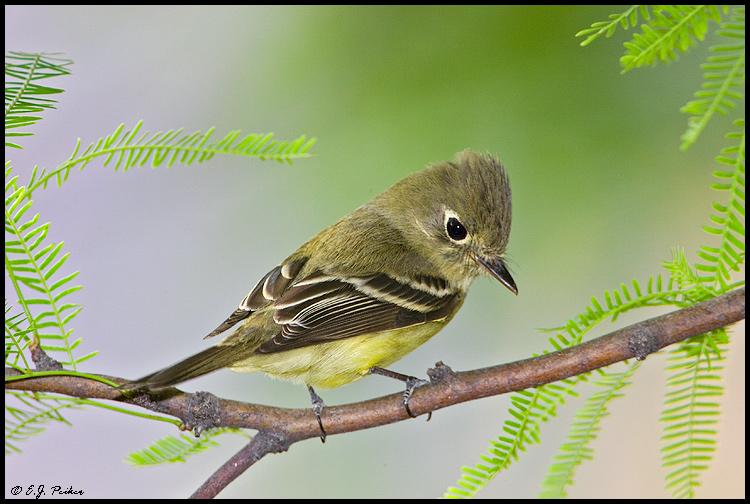 Cordilleran Flycatcher