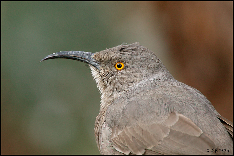 Curve-billed Thrasher, Phoenix, AZ