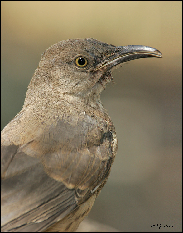 Curve-billed Thrasher, Ash Canyon, AZ