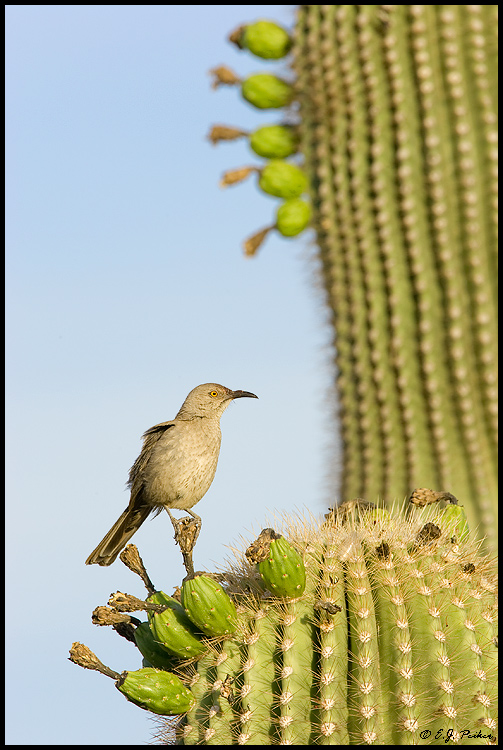 Curve-billed Thrasher, Gilbert, AZ