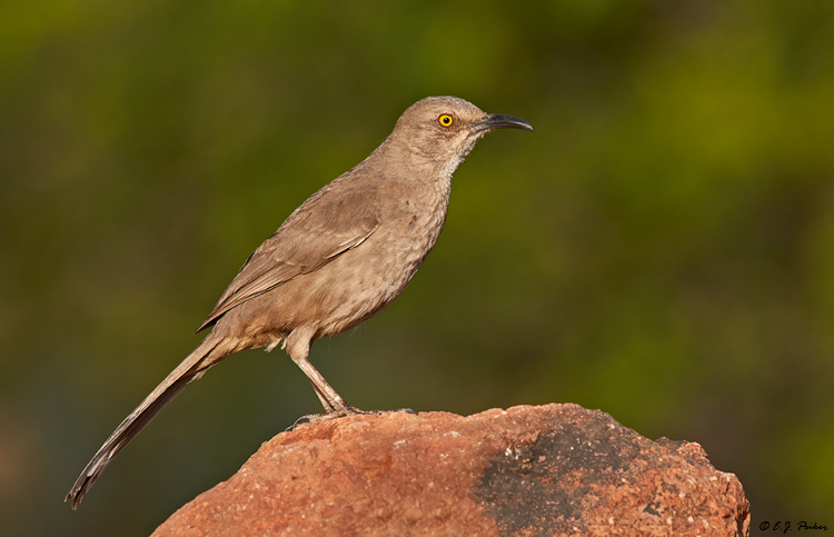 Curve-billed Thrasher, Amado,AZ
