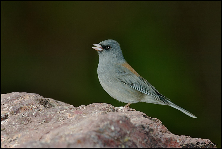 Dark-eyed Junco, Madera Canyon, AZ