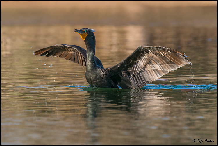 Double-crested Cormorant, Mesa, Arizona