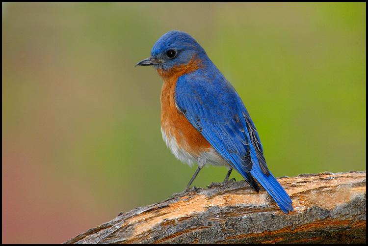 Bluebird Picture