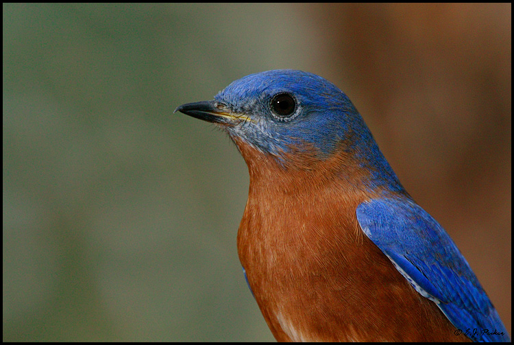 Eastern Bluebird Pictures 97