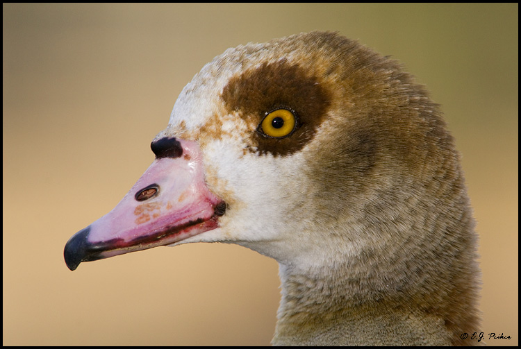 Egyptian Goose, Litchfield Park, AZ