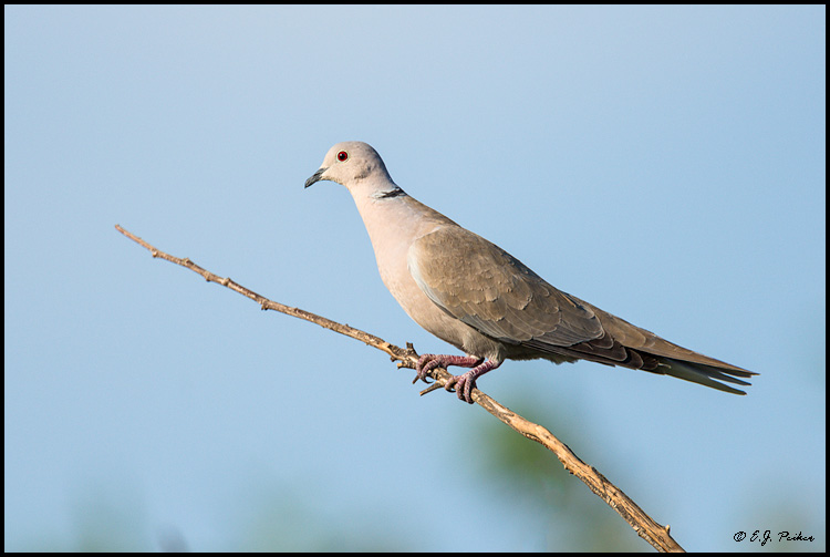 Eurasian Collared Dove, Chandler, AZ