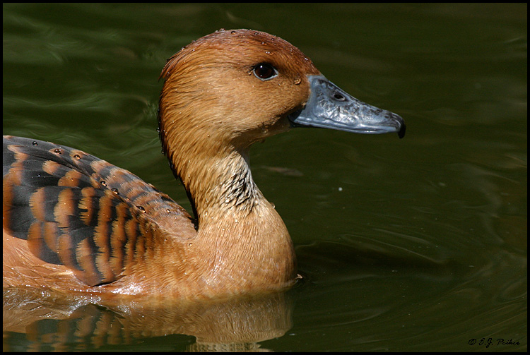 Fulvous Whistling Duck, Litchfield Park, AZ