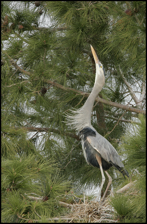 Great Blue Heron, Chandler, AZ