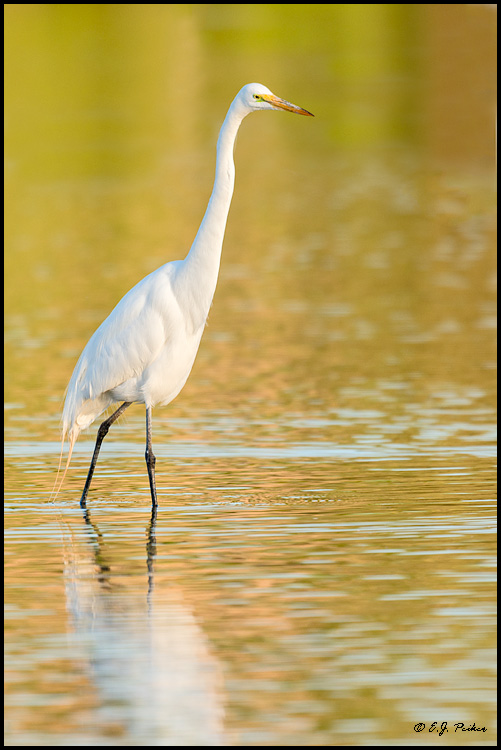 Great Egret, Chandler, AZ