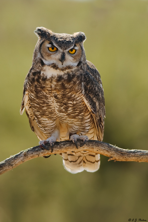 Great-horned Owl, Tucson, AZ