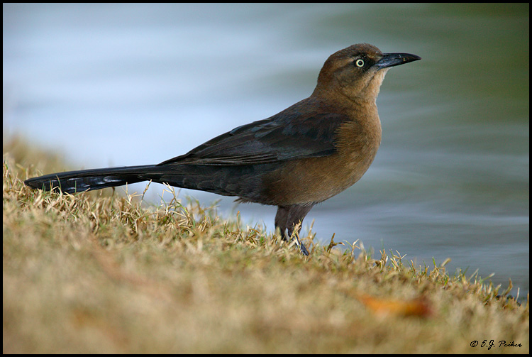 Great-tailed Grackle, Tempe, AZ