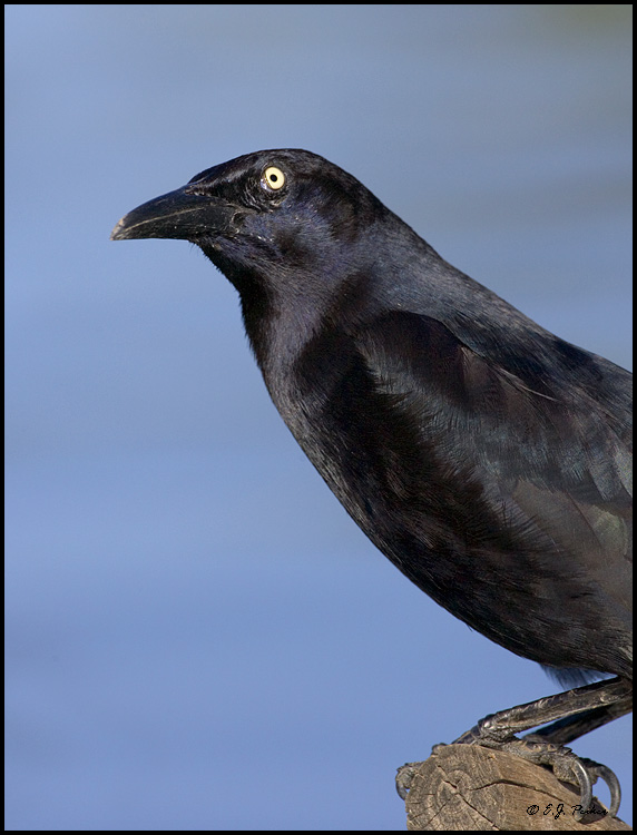 Great-tailed Grackle, Phoenix, AZ