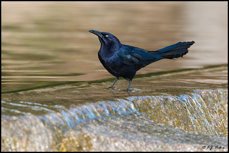 Great-tailed Grackle, Gilbert, AZ