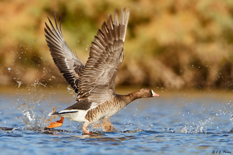 Greater White-fronted Goose, Gilbert, AZ