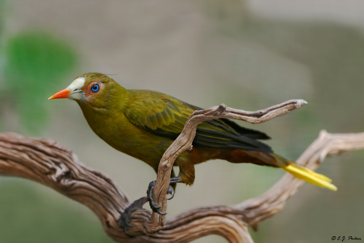 Green Oropendola (captive)