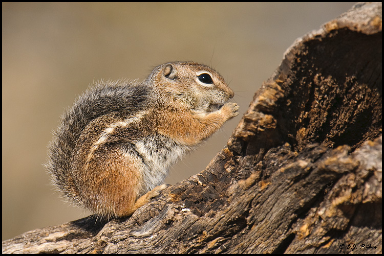 Harris' Antelope Ground Squirrel, Green Valley, AZ