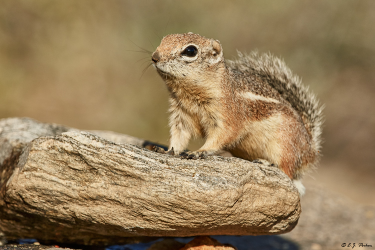 Harris' Antelope Ground Squirrel, Tortolito Mts, AZ