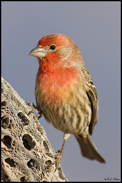 orange breasted sparrow wild turkey clip art images Wild Turkey Silhouette Clip Art