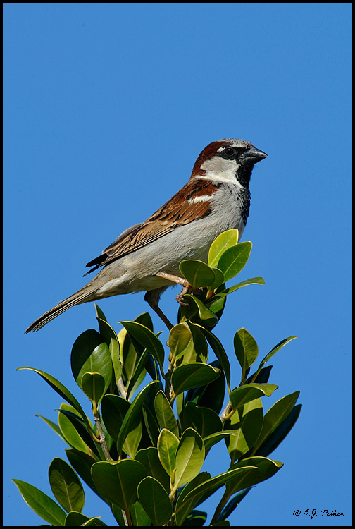 House Sparrow, Chandler, AZ