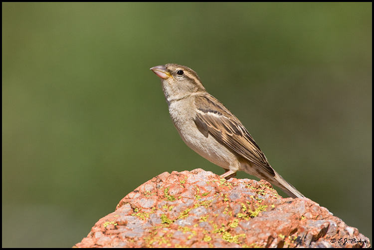 House Sparrow, Green Valley, AZ