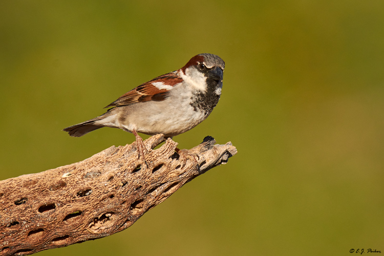 House Sparrow Page