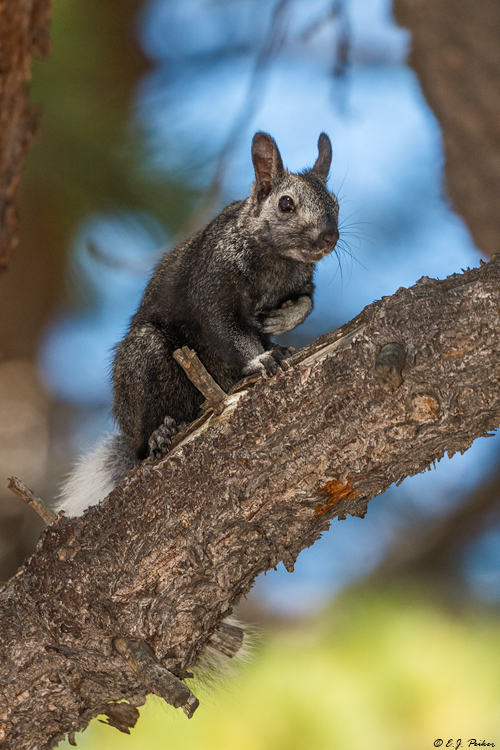 Kaibab Squirrel, Grand Canyon, AZ