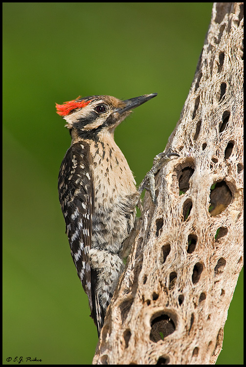 Ladder Backed Woodpecker Amado AZ