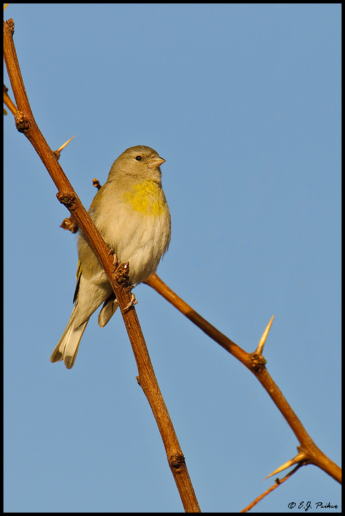 American Goldfinch, Gilbert, AZ