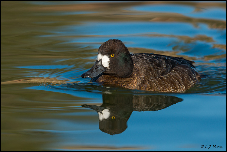 Lesser Scaup, Fountain Hills, AZ