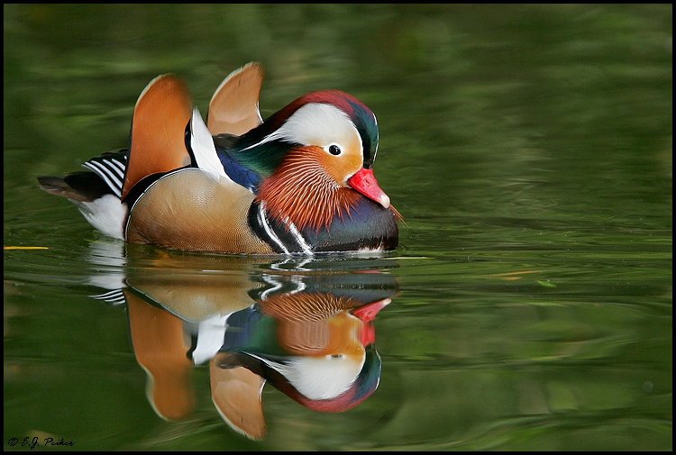 Mandarin Duck, Litchfield Park, AZ