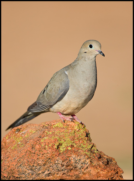 Mourning Dove, Green Valley, AZ