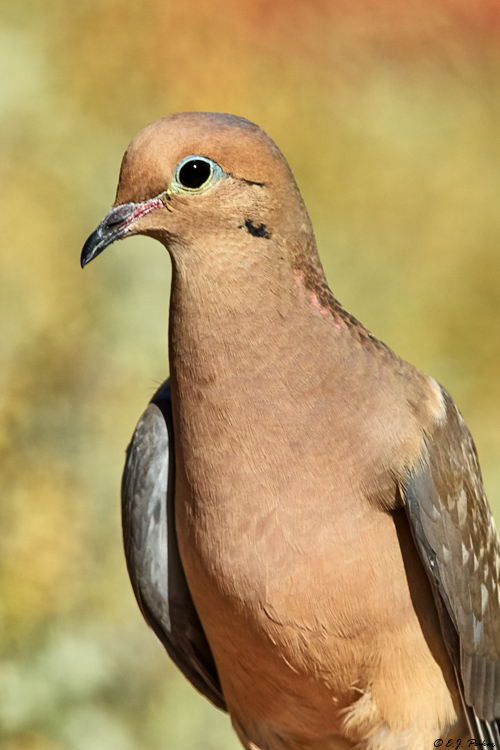 Mourning Dove, Tortolito Mts, AZ