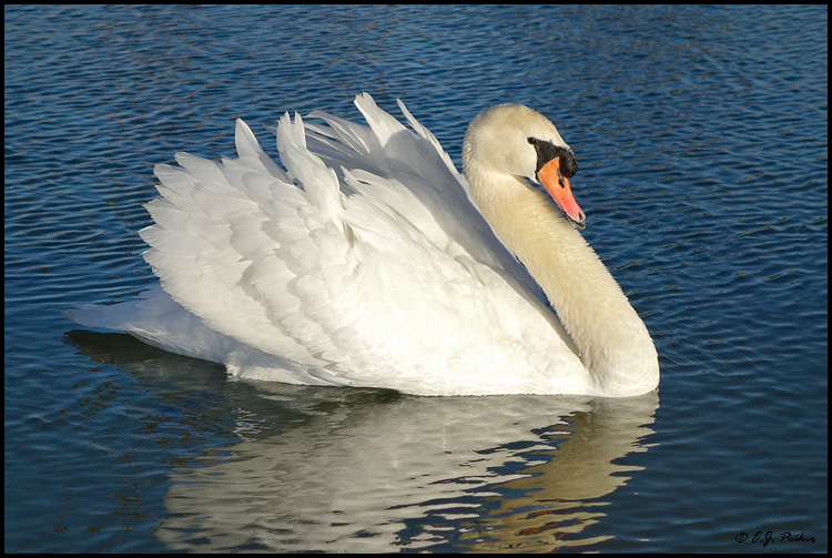 Sun City West Az >> Mute Swan Page