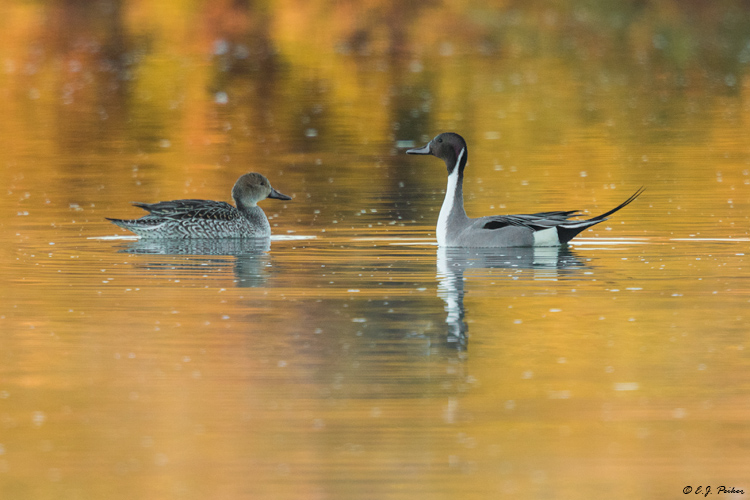 Northern Pintail, Chandler, AZ