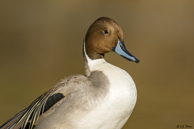Northern Pintail, Phoenix, AZ