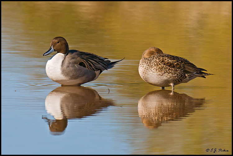 Northern Pintail, Gilbert, AZ