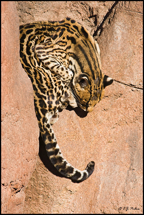 Ocelot (cative), Litchfield Park, AZ