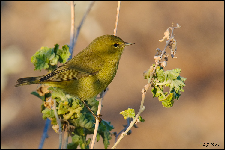 Orange-crowned Warbler, Phoenix, AZ