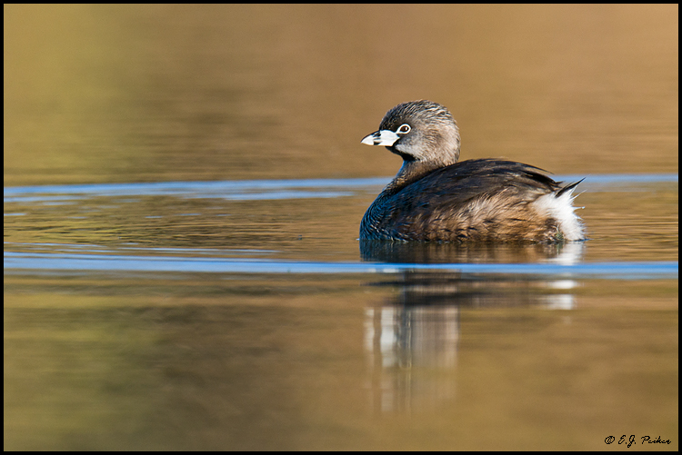 Pied-billed Grebe, Gilbert, AZ