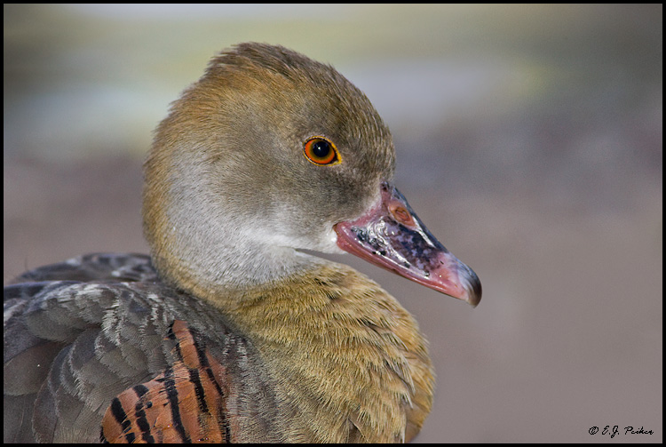 Plumed Whistling Duck, Litchfield Park, AZ