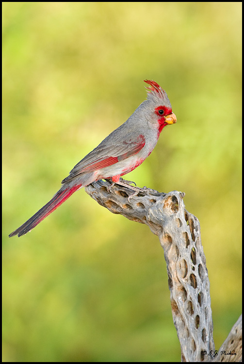 Pyrrhuloxia, Green Valley, AZ