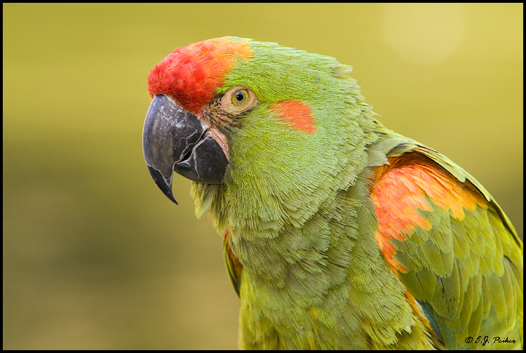 Red-fronted Macaw, Scottsdale, AZ