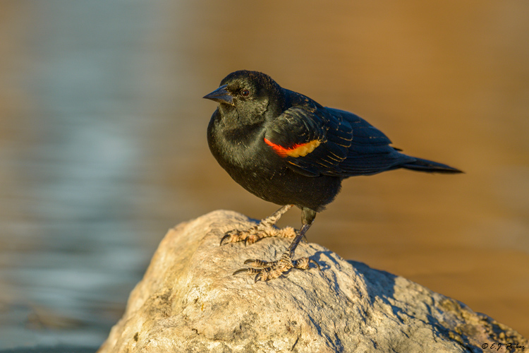 Red-winged Blackbird, Phoenix, AZ