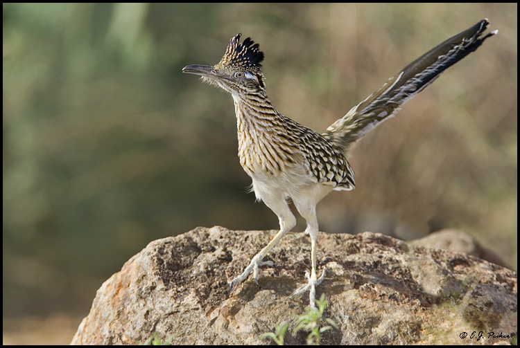 Greater Roadrunner, Tucson, AZ