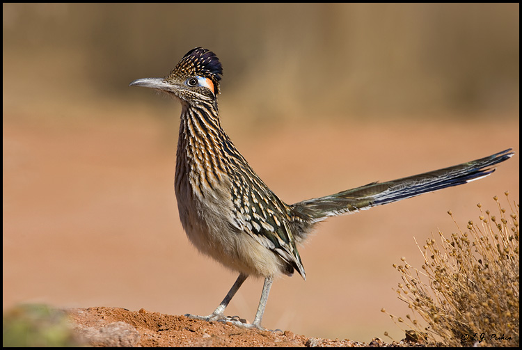 Greater Roadrunner, Green Valley, AZ