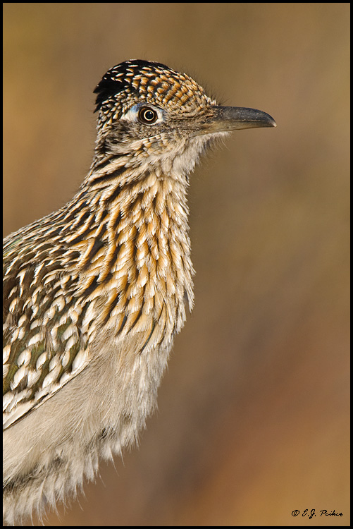 Greater Roadrunner,Amado, AZ