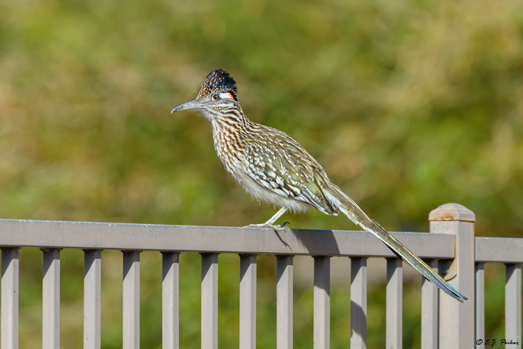 Greater Roadrunner, Chandler, AZ