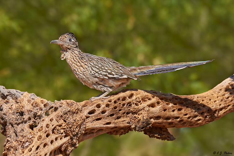 Greater Roadrunner, Amado, AZ
